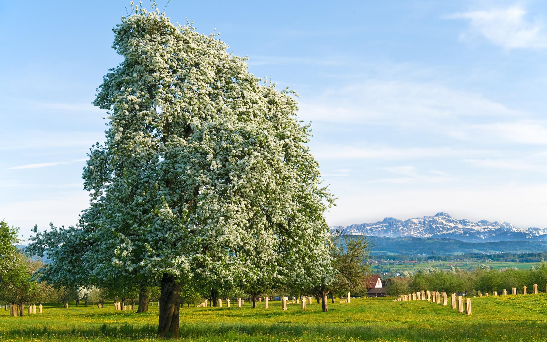 Apfelbaum und Säntis