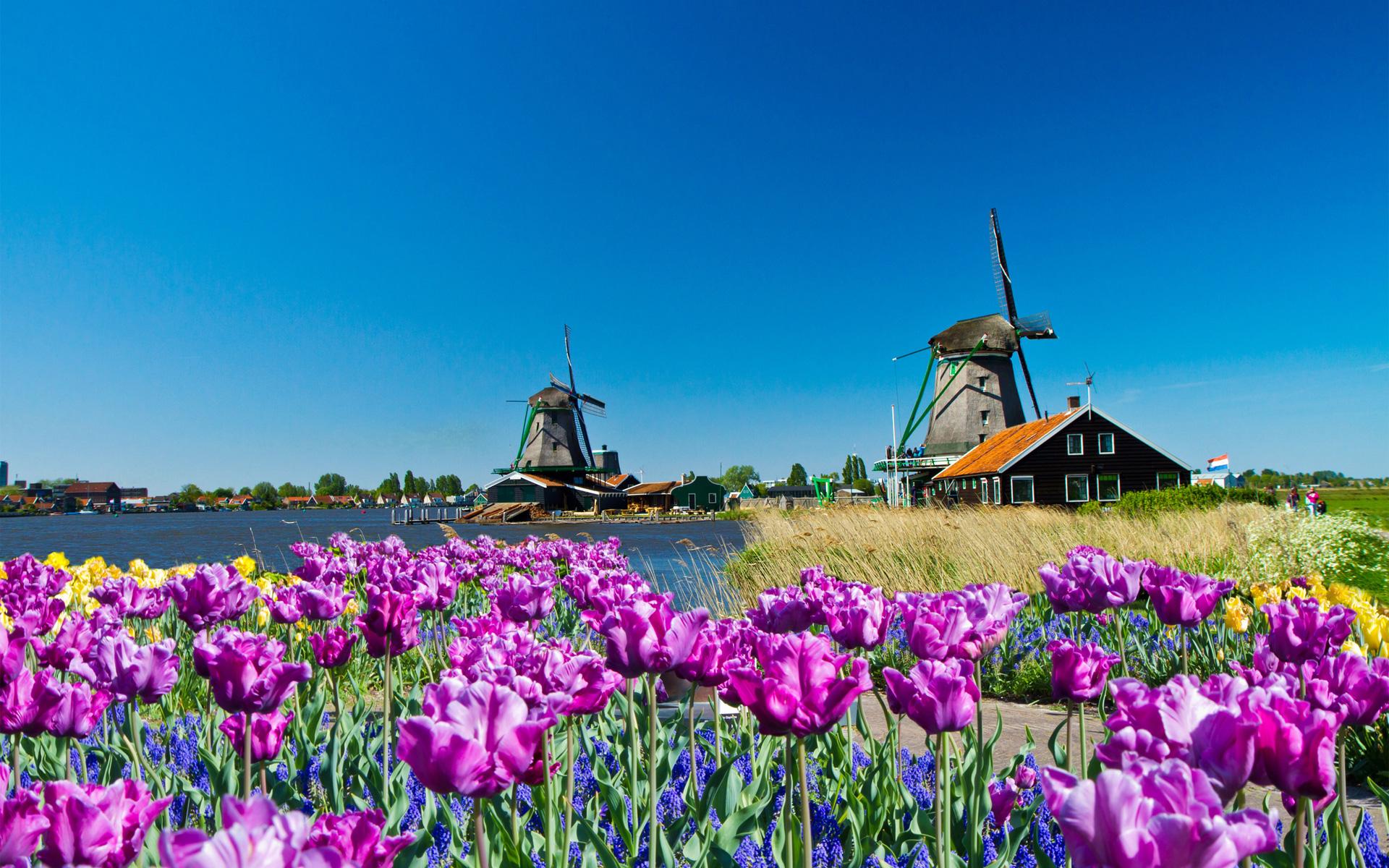 Windmühle und lila Tulpen